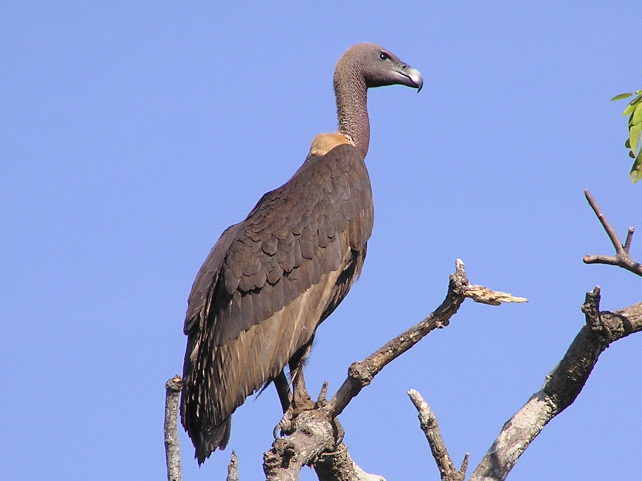 Indian White Backed Vulture