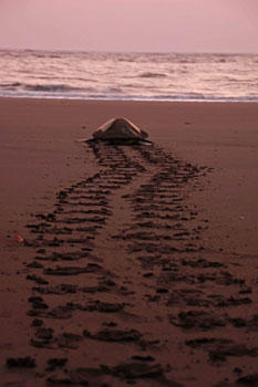 Tracks 2 to 2.5 feet wide appear on the sand when the turtle crawls